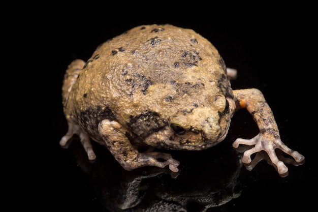 Ленточная лягушка на черном фоне