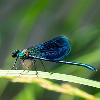 줄무늬 데모아젤 calopteryx splendens는 calopterygidae 계통에 속하는 damselfly의 한 종으로, 푸른 잠자리가 숲의 풀밭에서 쉬고 있습니다.