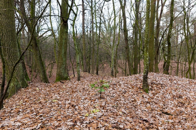 가을 시즌에 숲에서 자라는 나무의 벌거 벗은 줄기. 지상에는 오렌지색으로 어두워 진 단풍이 있습니다. 흐린 날씨에 근접 촬영