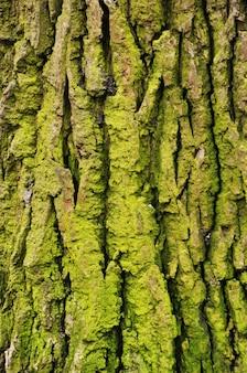 오래된 나무의 껍질입니다. 녹색 이끼로 덮인 나무 껍질의 클로즈업.