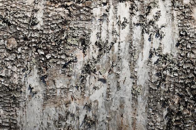 자작나무 껍질이 클로즈업됩니다. 나무 질감입니다. 고품질 사진