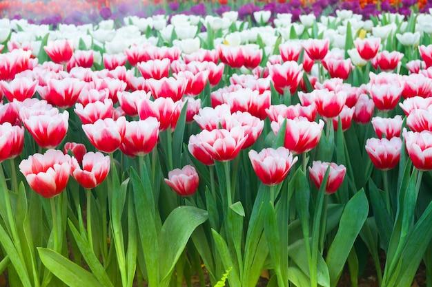 Garden.tulips花の美しい咲くチューリップは屋外の自然光の下でクローズアップ