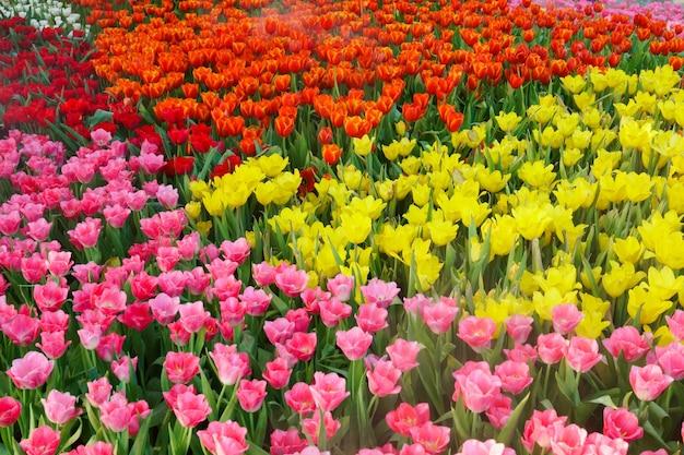 Garden.tulips 꽃의 아름다운 피는 튤립은 야외 자연 조명 아래에서 닫습니다