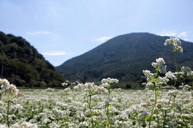 밭의 아름다운 메밀꽃