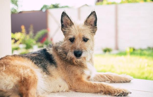 Красивая счастливая кудрявая семейная собака лежит на заднем дворе и расслабилась. принят из приюта