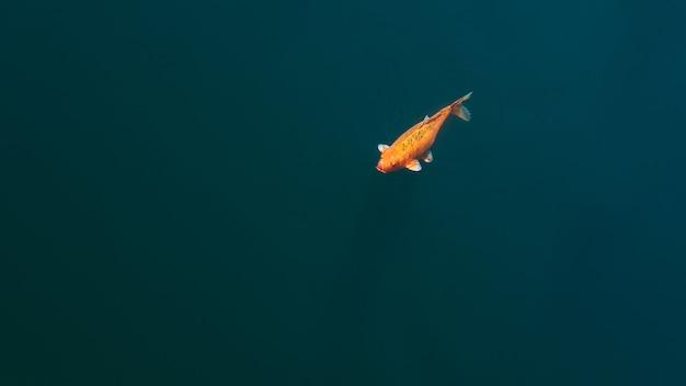 澄んだ川を泳ぐ美しい鯉。カラフルな派手な金色の鯉が青い水面に泳ぎました。カラフルな装飾魚が池に浮かんでいます。上からの眺め Premium写真