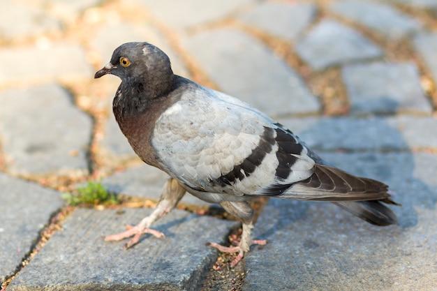古い白いひびの入った汚れた灰色のアスファルトの上を歩いて美しい白、灰色、茶色のハトが割れ目で成長している緑の草。都市の野生生物、動物の保護、鳥の病気