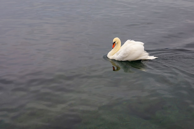 아름다운 하얀 백조는 스위스 강에서 수영