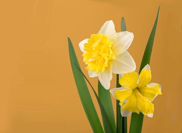 Красивые желтые нарциссы на желтом фоне.