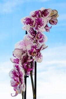 만개한 흰색과 보라색 난초의 아름다움. 푸른 하늘 배경에 호 접 난초 꽃입니다. 난초는 태국의 꽃의 여왕입니다.
