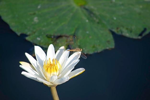 池の白い蓮の花にトンボの美しさ