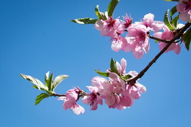 벚꽃의 아름다움. 라카포시 산, 파키스탄 한사에서