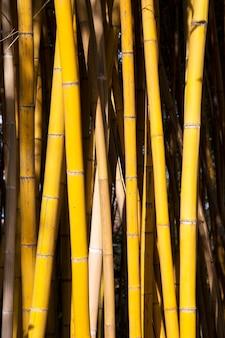 Красота золотого бамбука с золотыми стеблями и зелеными листьями. популярно украшать сад, потому что это золотой бамбук и красивый желтый цвет. выглядят необычнее, чем типичный бамбук.