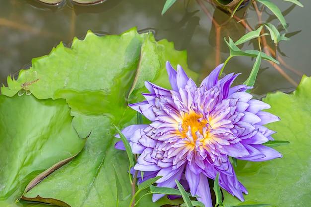 池の紫色の蓮の花と葉の上のトンボの美しさ。