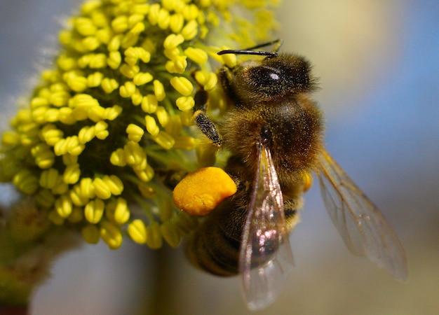 Пчела собирает нектар и пыльцу на иве.