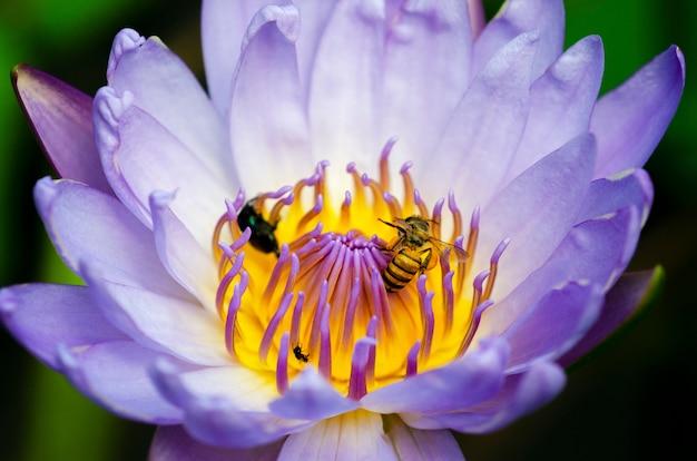 꿀벌은 보라색 연꽃 꽃가루와 꿀을 빠는