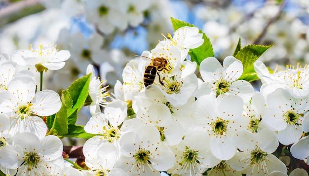Пчела опыляет цветки вишни
