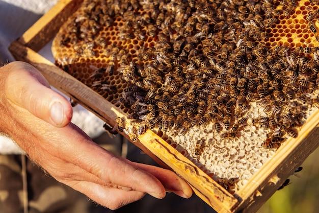 Пчеловод держит в руках соту с пчелами.