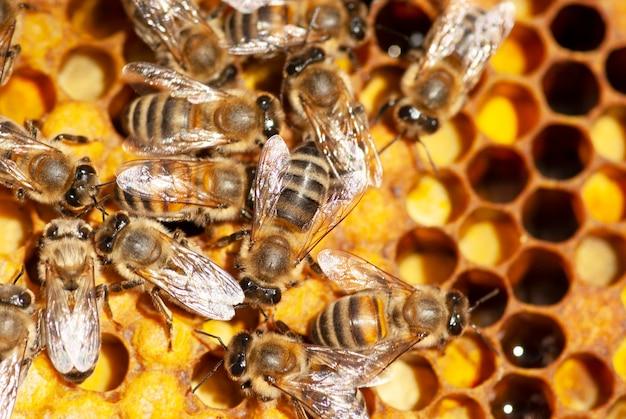 Пчелы работают с сотами в разрезе.