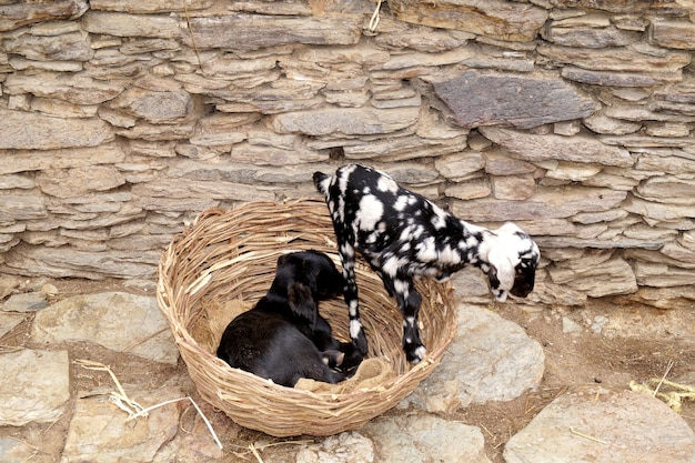 ビータルヤギはインドのパンジャブ地方の品種であり、パキスタンは牛乳と肉の生産に使用されています