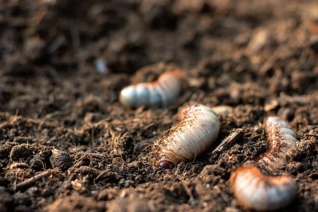 カブトムシまたはカブトムシの幼虫は肥沃な地面に住んでいます。