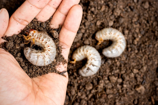 사람의 손에 딱정벌레 애벌레.