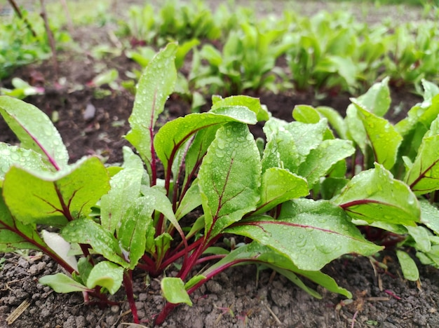 ビートルートまたはテーブルビートの赤い庭のビートの露、ビートの葉