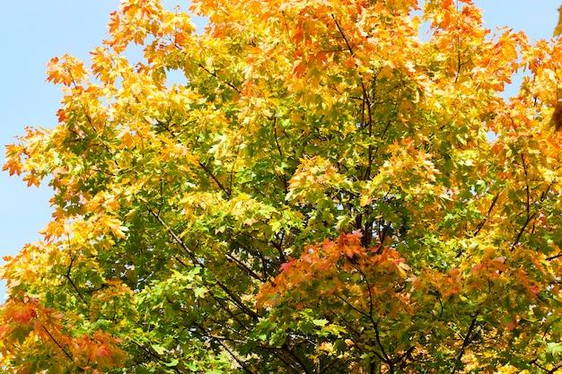Начало пожелтения листьев одного клена осенью. фото крупным планом, вид снизу. за листьями голубого неба