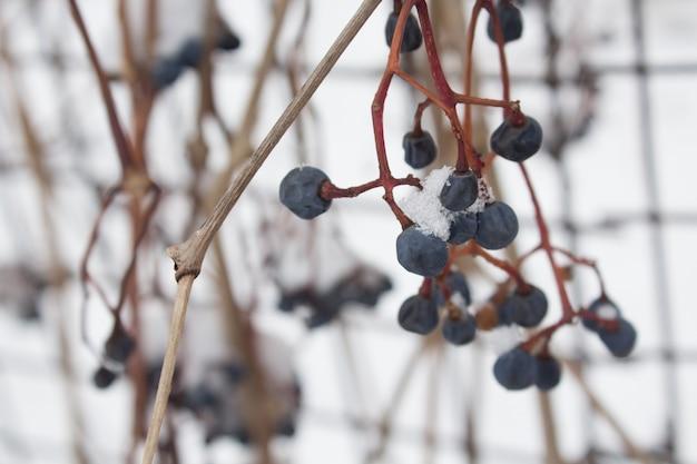 Ягоды девы виноградные под снегом, замороженные виноградные лозы на улице