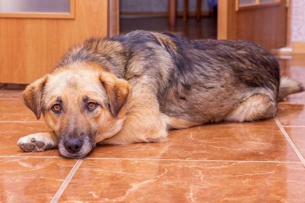 大きな茶色の犬が床の部屋に横たわっています。動物を家に留める