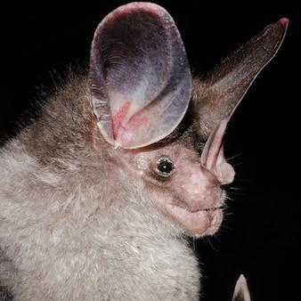 큰 귀털 박쥐