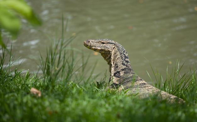 大きなモニター トカゲが草の上に横たわっています。水に近い