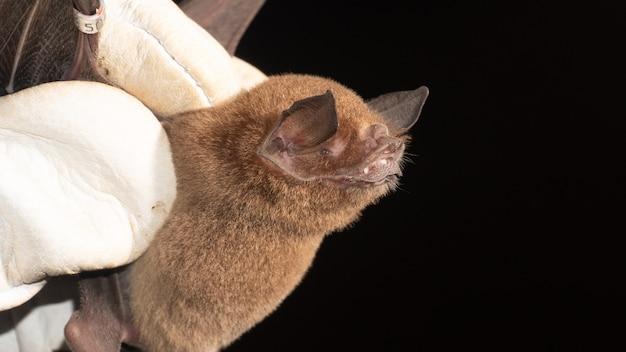 벌거 벗은 등의 큰 박쥐