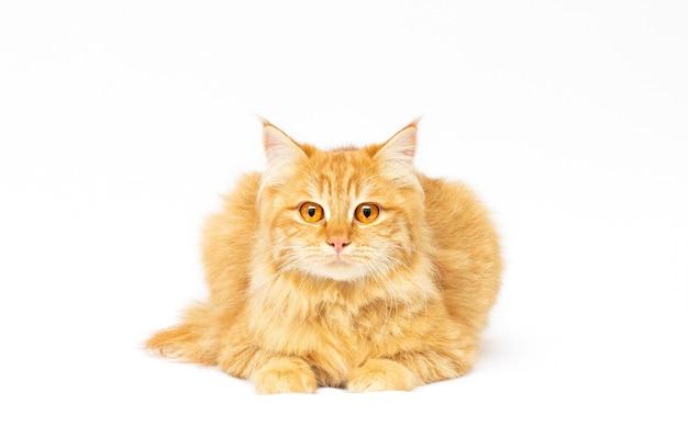 白い背景の上の大きな赤い猫 Premium写真