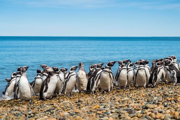Самая большая колония магеллановых пингвинов на берегу атлантического океана в период размножения. лето в аргентинской патагонии
