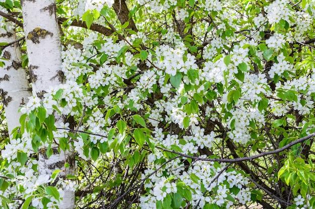 자작 나무는 피는 사과 나무의 꽃에 싸여 있습니다. 꽃이 만발한 사과 나무(malus prunifolia, 중국 사과, 중국 게 사과). 햇빛에 만개한 사과나무. 봄날.