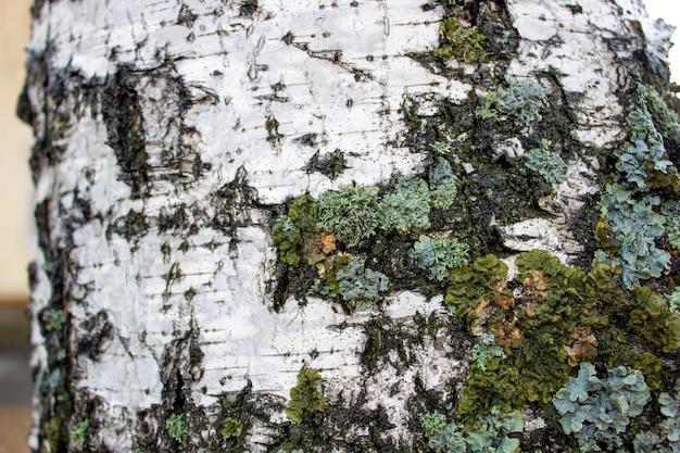Береза. крупным планом вид бересты для текстуры фона. поверхность коры как абстрактный фон.