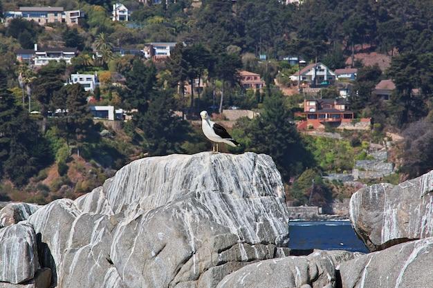 칠레 zapallar 마을의 새