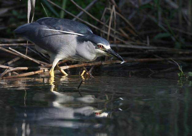 검은 왕관을 쓴 밤 왜가리 (nycticorax nycticorax)가 나무에 앉아 물속에서 물고기를 사냥하고 있습니다.