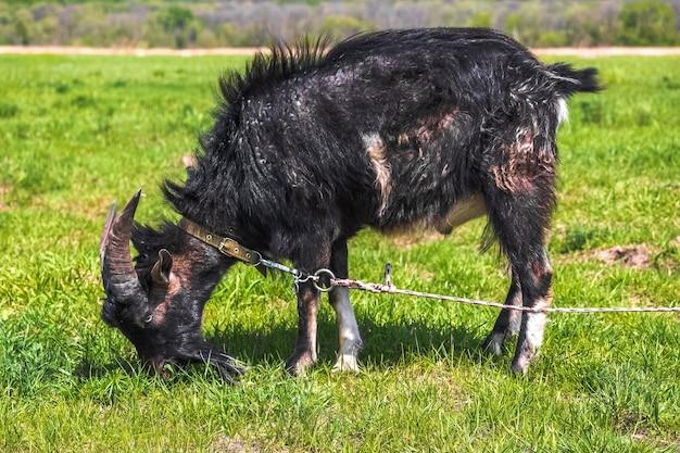 黒い角のあるヤギは、春または夏の牧草地で放牧するために結ばれ、野草を食べます。