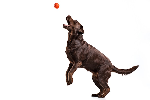 白で隔離のボールで遊ぶ黒いラブラドール犬