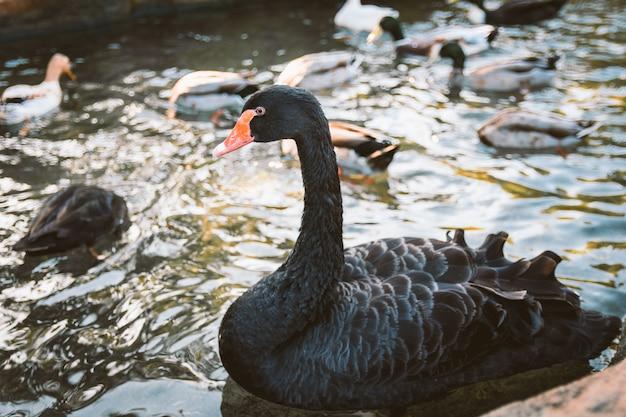 Черный лебедь (cygnus atratus) в парке в оропеса, валенсия