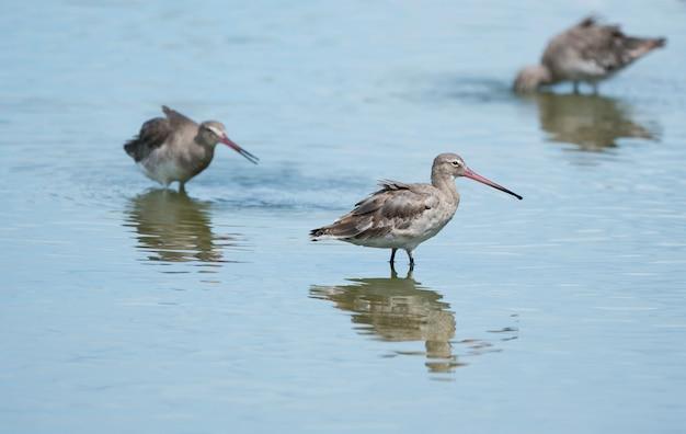 ピンクのビルを持ったオグロシギは沼地で獲物を選ぶ
