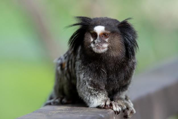 Звездная мартышка с черными кистями или просто сагуи - это один из видов обезьян.