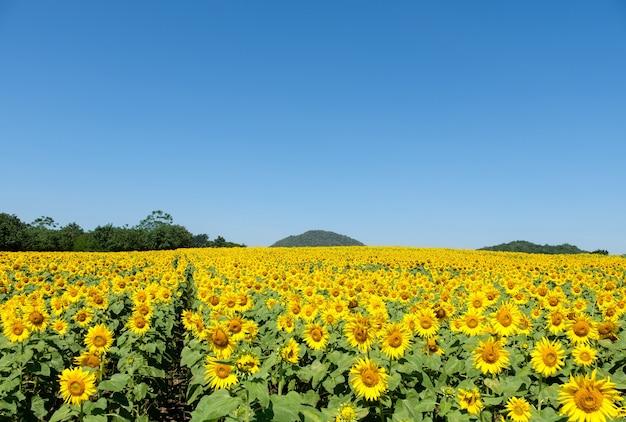 丘の上にある田舎の農場に咲くひまわり畑は、夏の澄んだ青い空の下で旅行者にとって明るく新鮮で、コピースペースの正面図です。