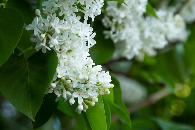 Цветущий куст белой сирени крупным планом по горизонтали. цветущая сирень в спринте. syringa meyeri. семейство oleaceae.