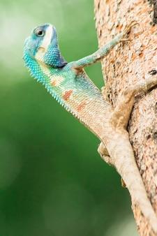 나무에있는 파란 머리 잔. , gila 왕은 포식자입니다. 그들은 생태계의 균형을 만드는 데 도움이되는 곤충을 잡아 먹습니다.