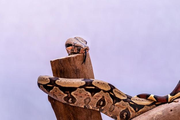 ボアコンストリクター(ボアコンストリクター)は、赤い尾のボアまたは一般的なボアとも呼ばれ、飼育下で頻繁に飼育され、飼育されている、大きくて毒のない重い体のヘビの一種です。