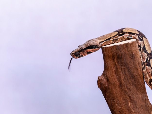 ボアコンストリクター(ボアコンストリクター)は、レッドテールボアまたはコモンボアとも呼ばれ、飼育下で頻繁に飼育され、飼育されている、大きな非毒のヘビーボディのヘビの一種です。