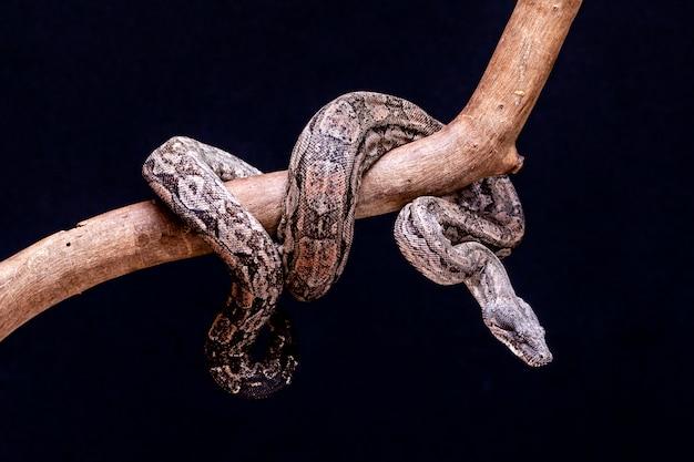 ボアコンストリクターは、2メートル(ボアコンストリクターアマラリ)から4メートル(ボアコンストリクターコンストリクター)の大人のサイズに到達できる魚のヘビです。ブラジルでは、2番目に大きいヘビはどこですか